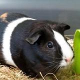 Kitourte, Animal cochon d'inde à adopter