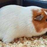 Sugar, Animal cochon d'inde à adopter