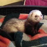 Amedée, Animal furet à adopter