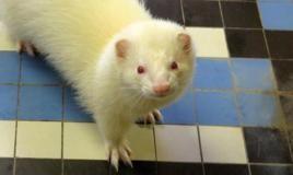 Terry, Animal furet à adopter