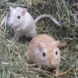Mimi, Animal gerbille à adopter