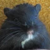 Geby, Animal gerbille à adopter