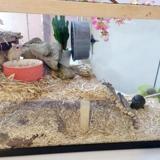 3 gerbilles mâles, Animal gerbille à adopter