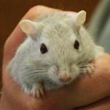 Tartare, Animal gerbille à adopter
