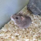 Edouard, Animal hamster à adopter