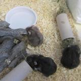 Stanislas, Animal hamster à adopter