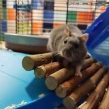 Grisgnott pac863, Animal hamster à adopter