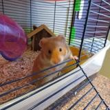 Anisette, Animal hamster à adopter