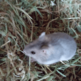Roubaix, Animal hamster à adopter