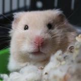 Lumy, Animal hamster à adopter