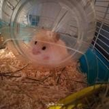 Thales, Animal hamster à adopter