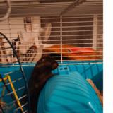 Pythagore, Animal hamster à adopter