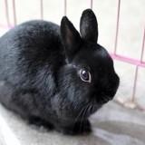 Adelaide pac647, Animal lapin à adopter