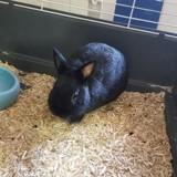 Nouf-nouf pac650, Animal lapin à adopter