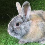 Bugs, Animal lapin à adopter
