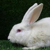 Furby, Animal lapin à adopter
