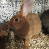 Chichi, Animal lapin à adopter