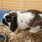 Simon ad685, Animal lapin à adopter