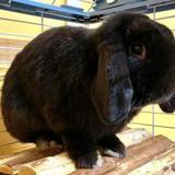 Oreo ad709, Animal lapin à adopter