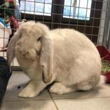 Harvey, Animal lapin à adopter