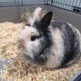 Caramelle, Animal lapin à adopter