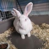 Hopla, Animal lapin à adopter