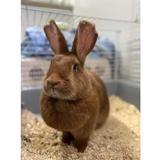 Penelope, Animal lapin à adopter