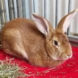 Grizzli 308, Animal lapin à adopter