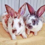 Arlequine et mikado, Animal lapin à adopter