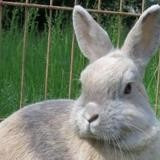 Craquotte, Animal lapin à adopter