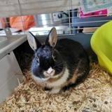 Carlo, Animal lapin à adopter