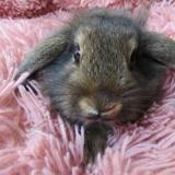 Brugnon, Animal lapin à adopter