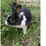 Figarie, Animal lapin à adopter