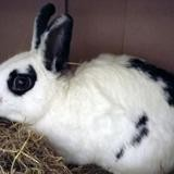 Muscat, Animal lapin à adopter