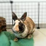 Hopps nac (reservee), Animal lapin à adopter