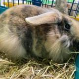 Choux , Animal lapin à adopter