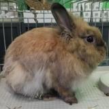 Celeri , Animal lapin à adopter