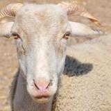 Smoothie (70017), Animal mouton à adopter