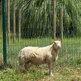 Salakis, Animal mouton à adopter