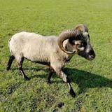 Kerlann, Animal mouton à adopter