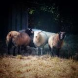 Himalaya, Animal mouton à adopter