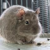 Maurice, Animal nac à adopter