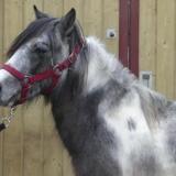 Hooligan, Animal poney à adopter