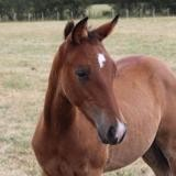 Iroquois, Animal poney à adopter