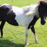 Voltige, Animal poney à adopter