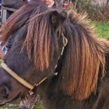 Guss, Animal poney à adopter
