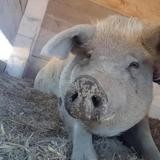 Gala, Animal porcin à adopter