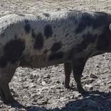 Honorine, Animal porcin à adopter