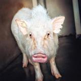 Nifnif (réservée), Animal porcin à adopter