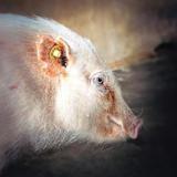Nafnaf (réservée), Animal porcin à adopter